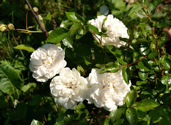 tuteur rosier pleureur botanic